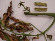 Бактериальный некроз стебля томатов и борьба с ним