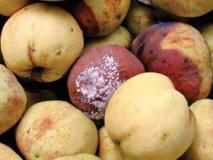 Болезни яблок показывают проблемы яблонь