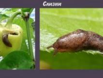 Борьба со слизнями в саду и огороде