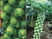 Брюссельская капуста на грядке: выращивание рассады, посадка и уход