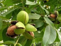 Два способа посадки грецкого ореха