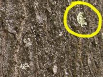 Если лишайники на деревьях