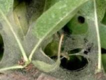Если паутина на растениях, опасно или нет?