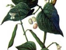 Фасоль обыкновенная кустовая