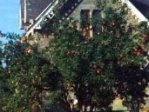 Формирование штамбов плодовых деревьев