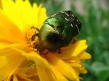 Как бороться с майским жуком и его личинками