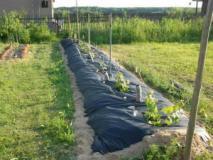 Как и чем мульчировать виноград