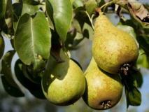 Как определить съемную спелость груши?