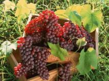 Как посадить саженцы винограда весной
