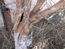 Как предупредить образование дупла в дереве