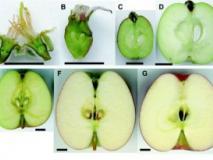 Как происходит развитие плода у плодовых деревьев