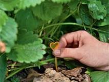 Как самостоятельно размножить клубнику