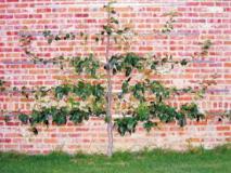 Как сформировать фруктовое дерево в виде горизонтальной пальметты