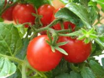 Как собрать семена помидор и их хранение