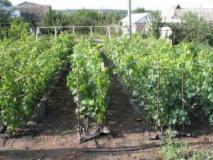 Как укоренить виноград в школке и уход за ним