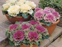 Как вырастить декоративную капусту — брассика
