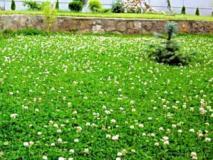 Как засеять газон клевером, преимущества и недостатки