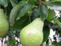 Как заставить жирующее дерево заложить плодовые почки