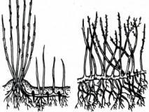 Каким способом можно размножать смородину и крыжовник