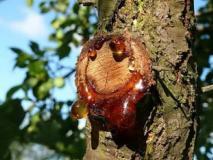 Камедетечение на деревьях: профилактика и лечение