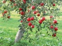 Когда опрыскивать деревья: состояние деревьев, как фактор, влияющий на эффективность действия химических средств прореживания