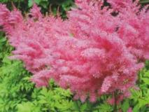 Композиции из цветов астильбы в саду