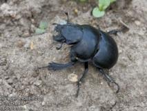 Кто такой жук кравчик обыкновенный (головач)