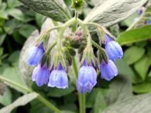 Лекарственное растение окопник (живокость) нашло широкое применение в жизни растений и людей