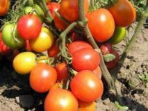 Несложные мероприятия по предупреждению многих болезней томатов