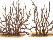 Обрезка плодоносящих кустов крыжовника