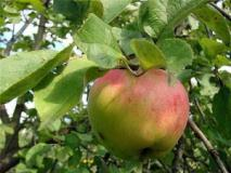 Обрезка яблони и груши по этапам развития дерева