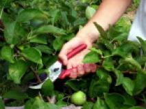 Обрезка яблони и груши с учетом особенностей плодоношения