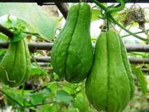 Огурец чайот, выращивание и размножение
