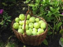 Определение оптимальных сроков уборки урожая плодов по характерным признакам