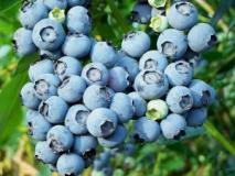Особенности выращивания высокорослой голубики