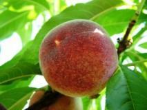 Персик. Описание