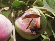 Почему кожура яблок, груш и других семечковых пород трескается