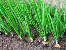 Почему зеленый лук желтеет раньше времени, причины и что делать