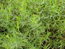 Полезные свойства растения тархун (эстрагона). Выращивание