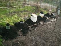 Преимущества осенней посадки винограда и его укрытие на зиму