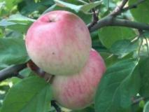 Применение ростовых веществ для предотвращения предуборочного опадения плодов яблонь