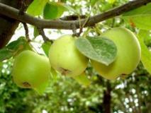 Прореживание плодов и цветков на деревьях для улучшения качества урожая