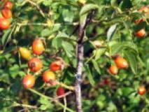 Распространенные виды шиповника, фото