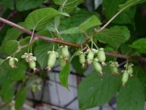 Растение актинидия коломикта — близкий родственник киви. Описание