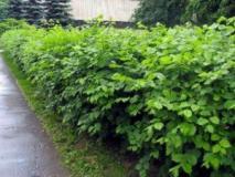 Растения для неформованной и смешанной живой изгороди