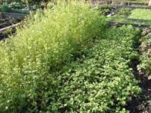 Растения обогащающие и улучшающие почву, использование сидератов
