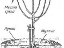 Размножение и посадка вишни и сливы