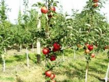Размножение низкорослых клоновых подвоев яблонь