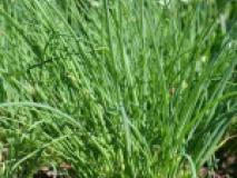 Шнитт-лук выращивание круглый год