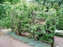 Шпалерная изгородь из плодовых деревьев: формирование и обрезка